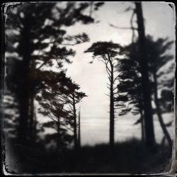 Tin-type style image of back-lit pine trees on the Washington state coast.