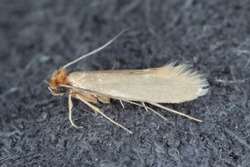Tineola bisselliella known as the common clothes moth, webbing clothes moth, or simply clothing moth. It is a pest of clothing in homes.