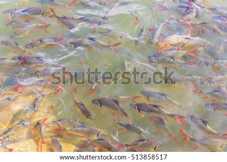 Tinfoil Barb Red - tailed many swims gracefully beneath the murky water with rocks in the background. stock photo