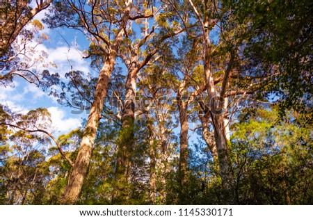 Tingle Trees at Valley of the Giants, Denmark, Australia. #1145330171