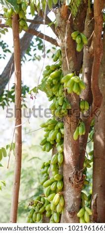 Tingling tree. Tingling sour fruit. #1021961665