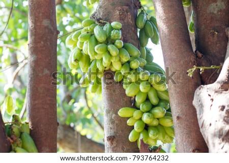 Tingling tree. Tingling sour fruit. #793764232