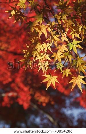 Tinted autumn leaves
