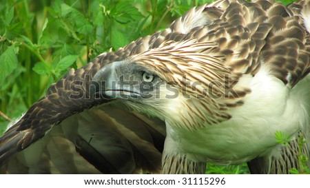 Tinuy-an the Philippine Eagle