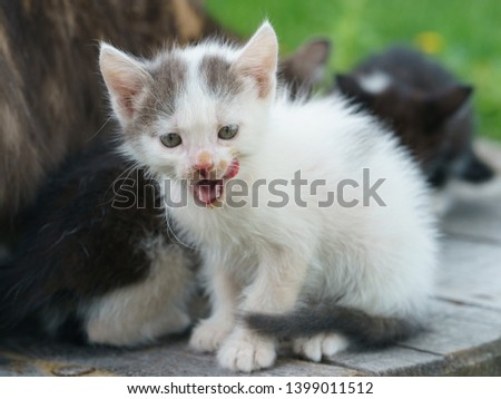 Tiny almost white kitten licking snout after eating