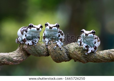 Tiny amazon milk frog on branch, Panda Bear Tree Frog, animal closeup, Tiny amazon milk frog on green leaves
