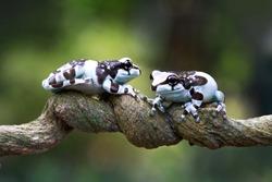 Tiny amazon milk frog on branch, Panda Bear Tree Frog, animal closeup, Tiny amazon milk frog on red bud