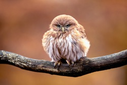 Tiny and very cute owl, Ferruginous pygmy owl sitting on a branch. Living in southern Texas, Arizona, Central America and South America.