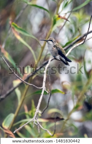 Tiny Anna's Hummingbird perched on long branch with perfect balance and grip.