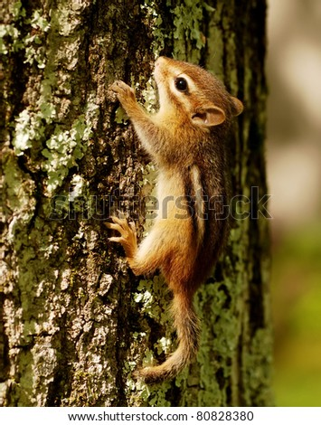 Tiny baby chipmunk climbing a tree