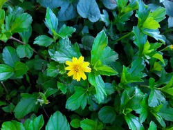 Tiny beautiful aster like yellow daisy flower isolated among green leaves background