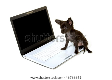 long haired chihuahua puppies florida. long haired chihuahua puppies
