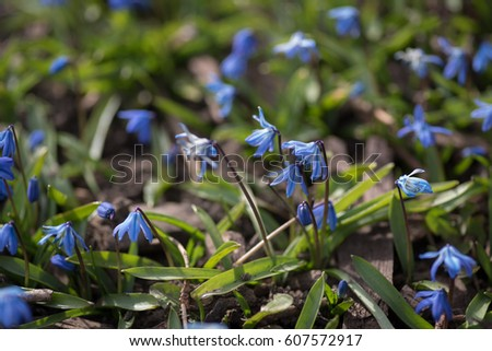 Shutterstock puzzlepix tiny blue flowers in lawn in early spring mightylinksfo