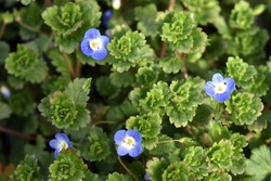 Tiny blue flowers of a common field speedwell