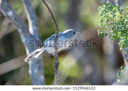 Tiny Bluegray Gnatcatcher bird holds tightly to branch perch while reaching out for the food on far wildflowers.