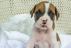Tiny boxer dog with spots on his nose