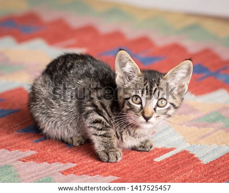 Tiny brown tabby kitten with green eyes crouches calmly on a vintage rug and looks up at the camera in the natural light studio