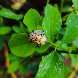 Tiny Bug (Aspidimorpha miliaris) with Polkadot Pattern on Its Back