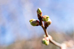 Tiny burgeons of cherry tree. Young leaves vegetation on twig with blurred background with bokeh effect.