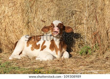 Tiny calf in the barn , Italy