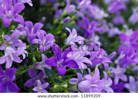 Tiny 'campanula get mee' (or bellflowers) soft floral background. Macro with extremely shallow dof.