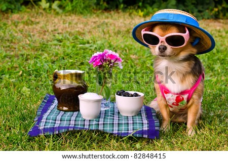 Tiny chihuahua dog wearing suit, straw hat and glasses relaxing in meadow