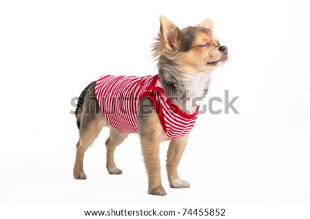 Tiny Chihuahua dressed in red and white t-shirt dreaming