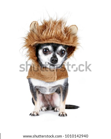 tiny chihuahua in a lion costume isolated on a white background