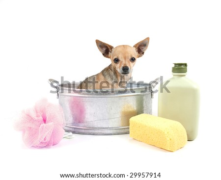 tiny chihuahua in a small metal bathtub