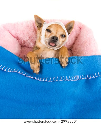 tiny chihuahua in bed with a headache