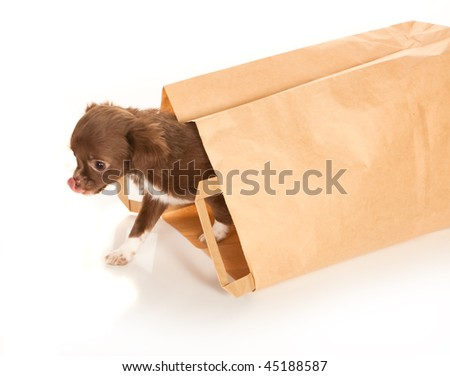 Tiny chihuahua puppy coming out of a brown paper bag