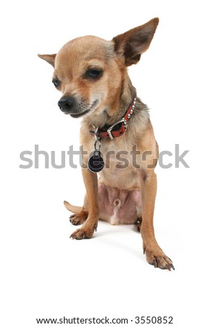 tiny chihuahua sitting down on the floor