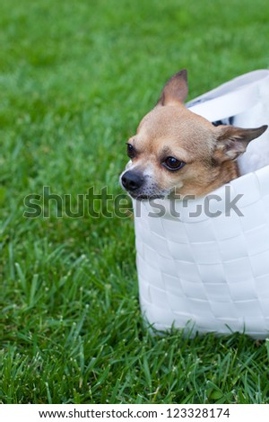 Tiny chihuahua sitting in a purse