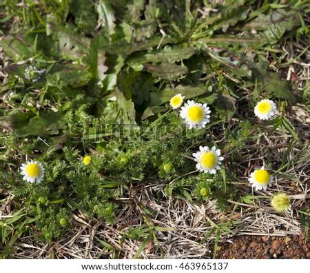 Free photos tiny cotula turbinata funnel weed flowers in winter tiny cotula turbinata funnel weed flowers in winter spring with feathery divided mightylinksfo
