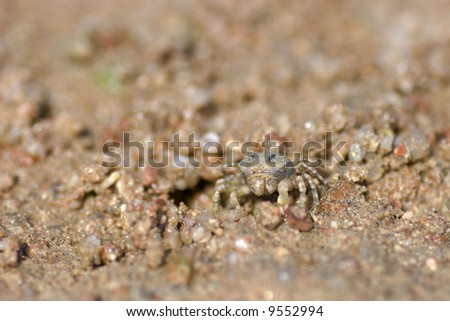 Tiny crab standing on red sand looking at you