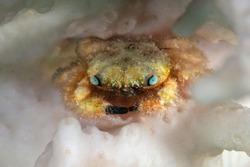 Tiny critter - Furry Coral crab (Cymo melanodactylus). Underwater world of coral reef near Makadi Bay, Hurghada, Egypt