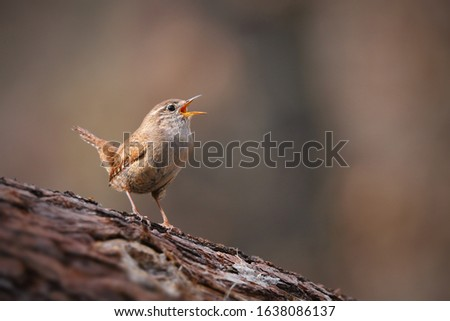 Photo of  Tiny eurasian wren, troglodytes troglodyte, singing in spring forest with copy space. Small songbird sitting on a tree with open beak and calling. Wild bird in woodland.