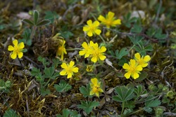 Tiny flowers of Potentilla arenaria on a xerotherm meadow. Wild yellow flowers growing on sand soil.