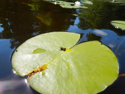 Tiny frog on a water lily leaf