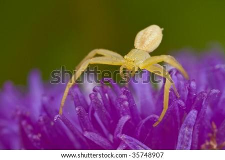 Tiny golden crab spider on purple porcupine flower