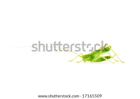 tiny grasshopper with long antennae isolated on white background