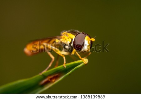 Tiny Hoverfly sitting on the tip of a green grass