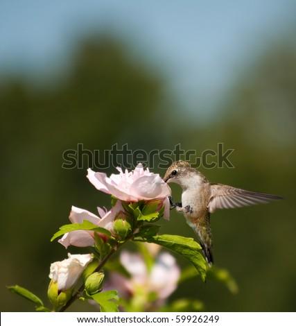 stock-photo-tiny-hummingbird-feeding-on-a-flower-59926249.jpg