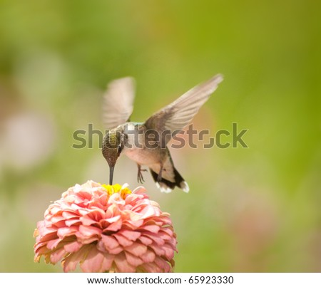 Tiny Hummingbird feeding on a light pink Zinnia flower against green background