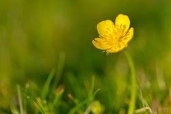 Tiny Insect or Bug on Petals Getting Nectar of Meadow Buttercup Yellow Flower or Ranunculus Wildflower in Full Bloom at Sunset. Closeup Floral Macro on Natural Green Serene Background