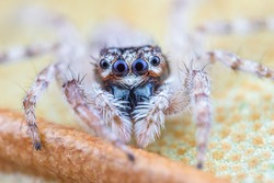 Tiny jumping spider from high magnification extreme macro photography.