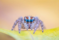 Tiny Jumping spider on leave from high magnification  extreme macro photography with colourful blurry background.