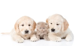 Tiny kitten lies between two golden retriever puppies. isolated on white background