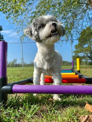 Tiny little Maltese shih tzu mixed breed puppy dog trotting over colorful agility ladder in the grass on a beautiful sunny day at the canine enrichment training center
