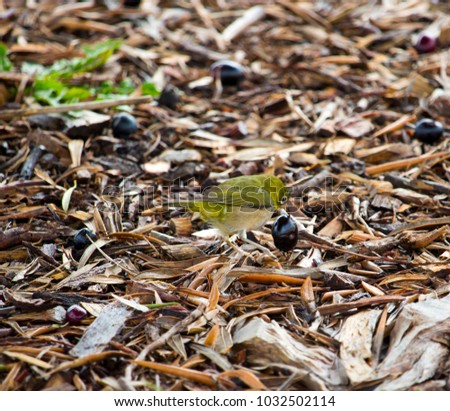 Shutterstock Tiny  little  Silvereye or Wax-eye (Zosterops lateralis)  a  small omnivorous passerine bird of Australia  is eating juicy ripe black olives fallen from the tree on a sunny early winter morning.